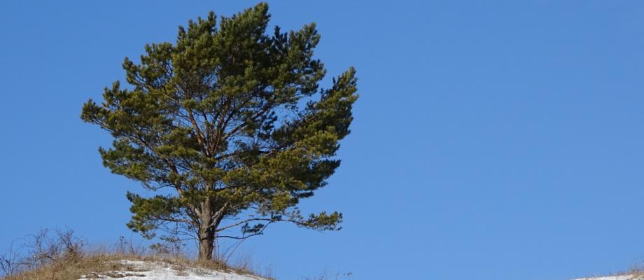 Einzelner Baum auf dem Windknollen in Jena