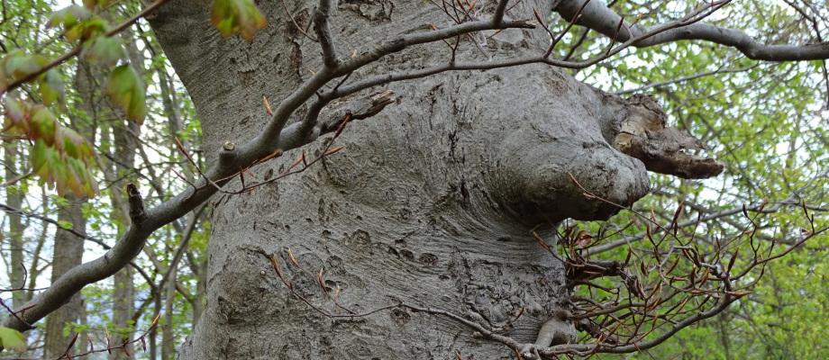 Baum am Landgrafen